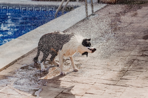 Black and white border collie a cute dog playing at the pool and having a good time during the summer vacation holidays Premium Photo