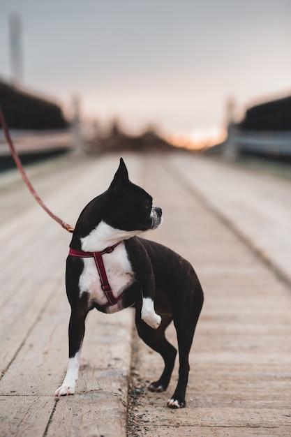 Boston terrier in bianco e nero su strada durante il giorno Foto Gratuite