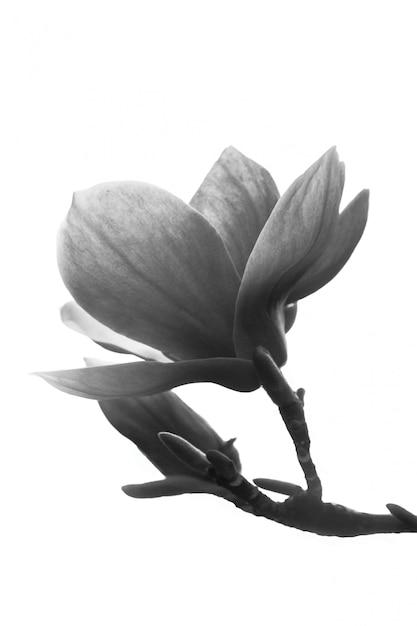 Black And White Magnolia Flower Photo Premium Download