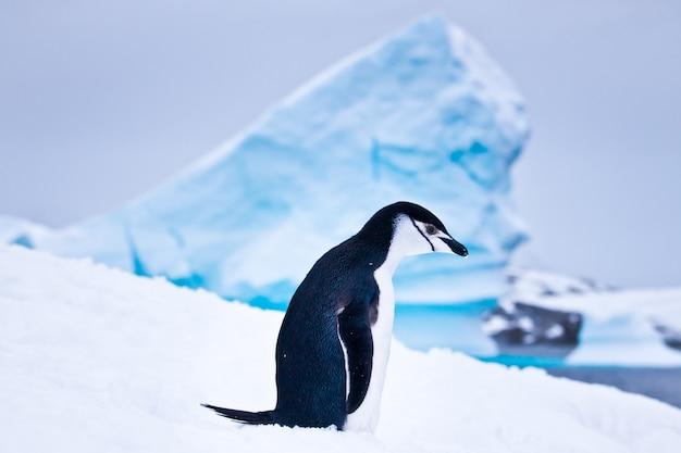 Black and white penguin Premium Photo