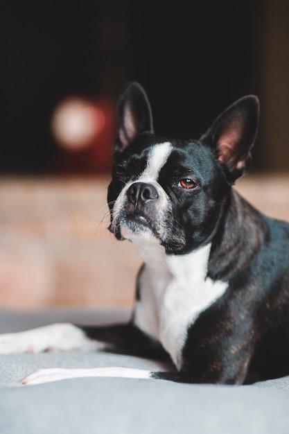 Cane con pelo corto bianco e nero Foto Gratuite