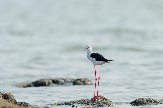 インドの海の石の上に立っているセイタカシギ 無料写真
