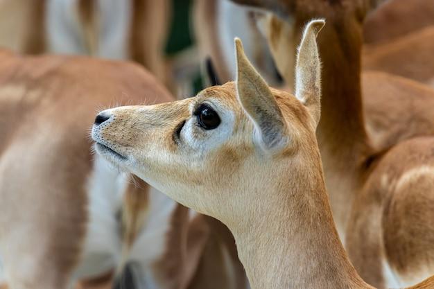 Блэкбак или женский портрет индийской антилопы Premium Фотографии