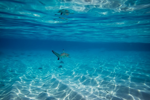 Blacktip reef shark in the shallow water at maldives Premium Photo