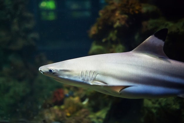 Blacktip reef sharks swimming in tropical waters over coral reef Premium Photo