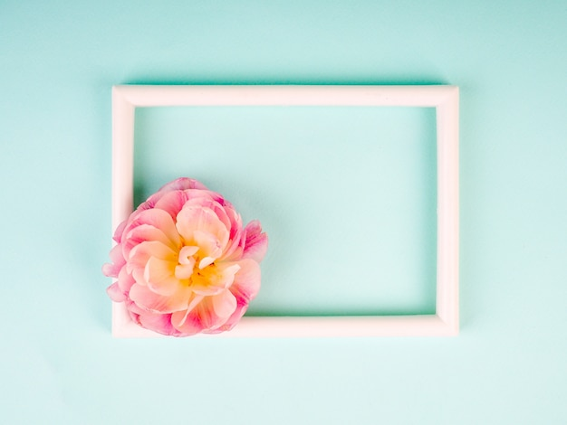 Blank photo frame and white tulip over blue background Premium Photo