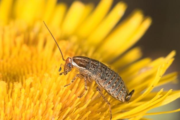 ゴキブリ(blatella germanica) Premium写真