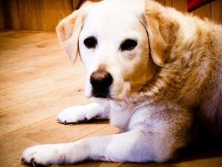 Блондинка собака лабрадор ретривер Бесплатные Фотографии