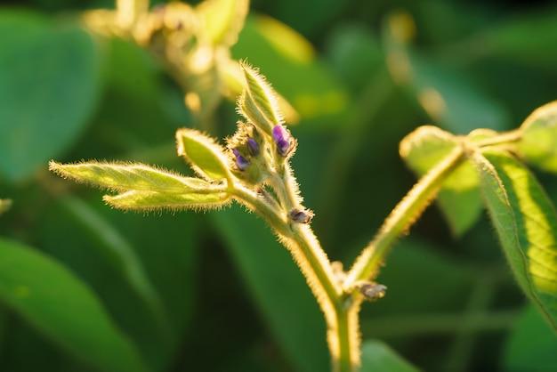 Bloom of soybean plant Premium Photo
