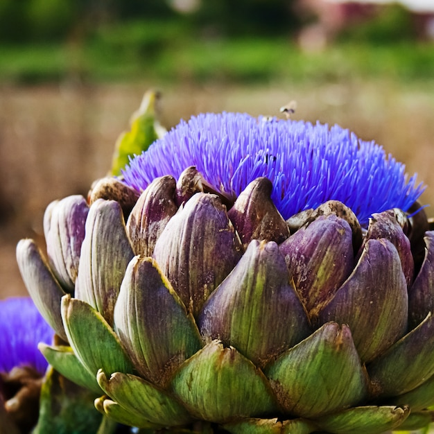 Bloomed artichokes with bee looking for food Premium Photo