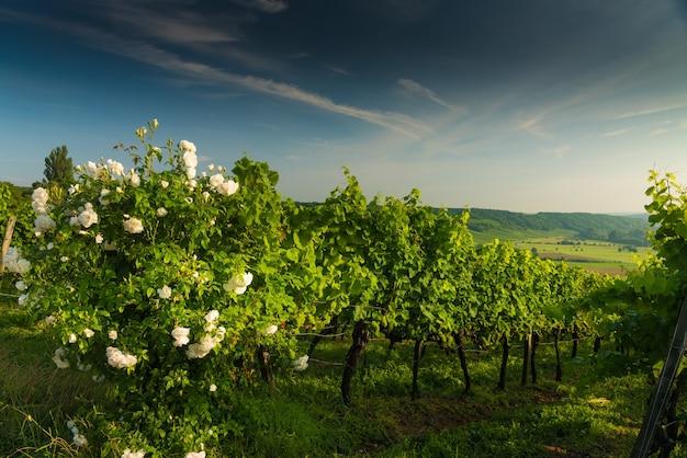 Куст белой розы зацвел в винограднике на холмах на закате Бесплатные Фотографии