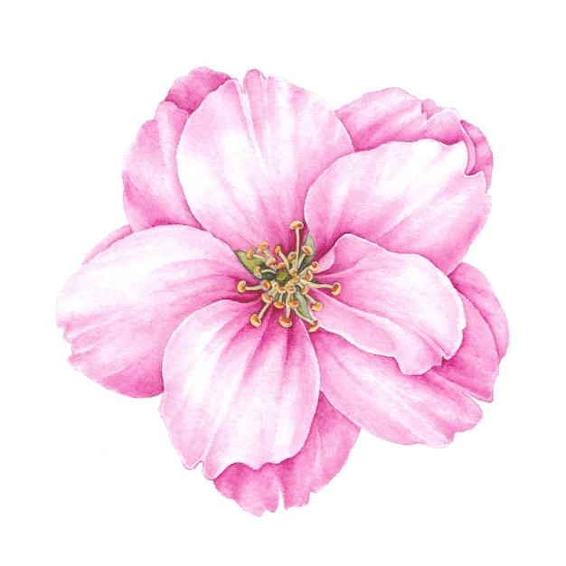 Blooming bud of sakura. Premium Photo