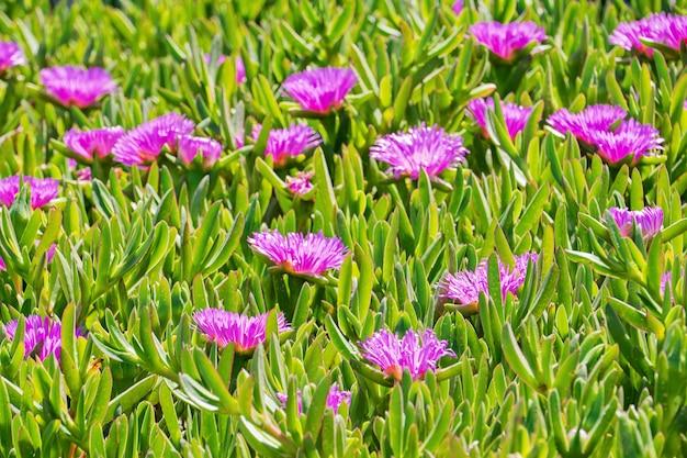Цветущий цветок carpobrotus chilensis на песчаных дюнах типичного суккулентного растения Premium Фотографии
