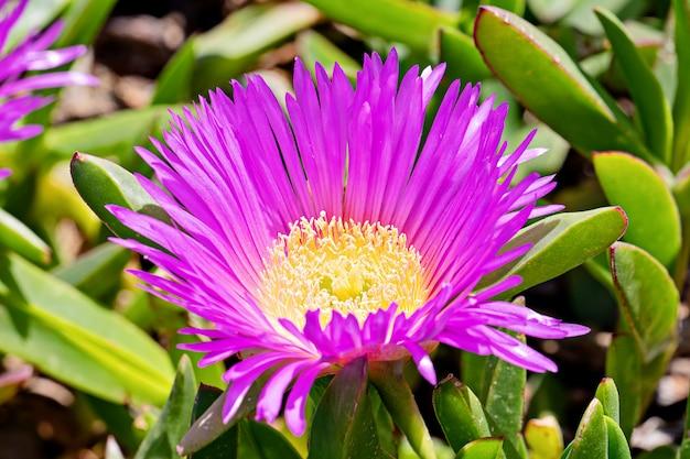 砂丘の典型的な多肉植物のcarpobrotus chilensisの咲く花 Premium写真