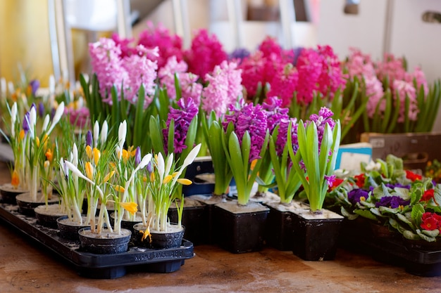 Blooming hyacinth and crocus in flower pots for transplanting. floriculture, gardening. Premium Photo