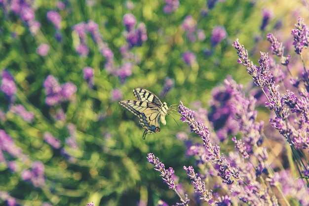 Blooming lavender field. butterfly on flowers. Premium Photo