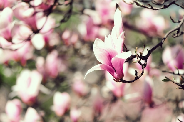 Blooming Magnolia Tree In The Spring Sun Rays Photo Premium Download