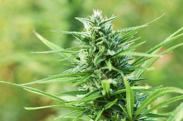 Фото растения марихуана какие бывают виды конопли