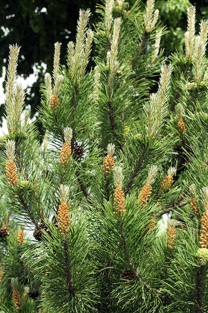 The blooming pine tree close up, pollen, yellow Photo