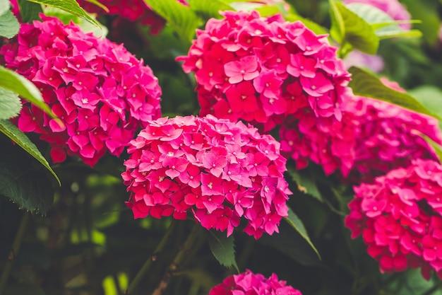 Цветущая розовая гортензия или гортензия Premium Фотографии