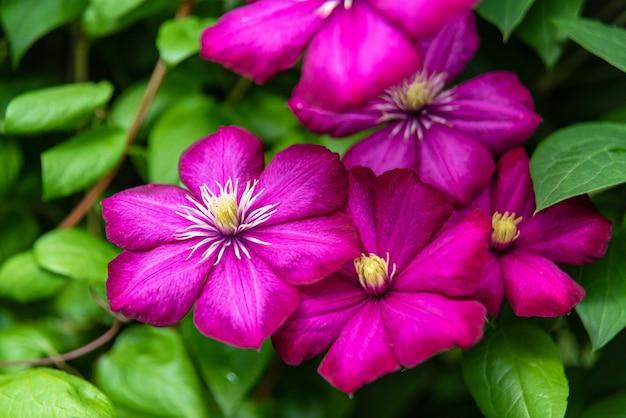 晴れた日に庭に咲く紫のクレマチス。 Premium写真