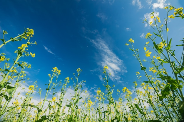 Blooming rape against the blue sky with clouds Premium Photo