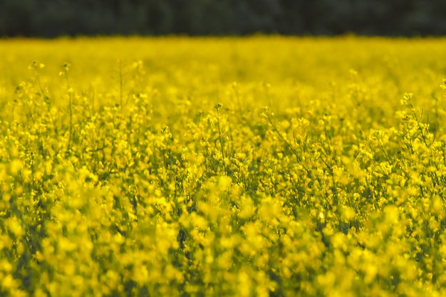 Blooming rapeseed field at spring Premium Photo