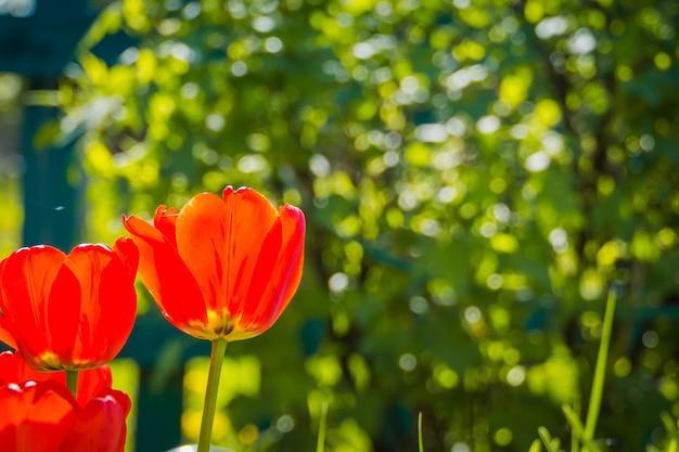 Цветущие красные тюльпаны в саду Premium Фотографии