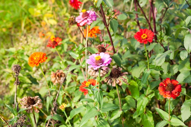 Blooming and sluggish dry flowers in early autumn Premium Photo