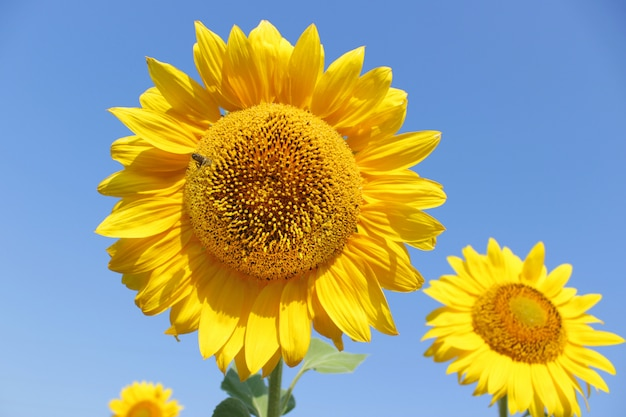 Blooming sunflower field with bee in sunny summer day Premium Photo