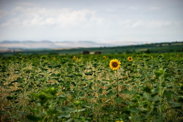 雨の日に咲くひまわり Premium写真