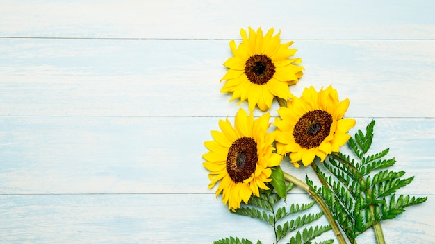 Blooming sunflowers on blue background Free Photo