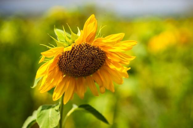 フィールドの夏の風景に咲くひまわり Premium写真