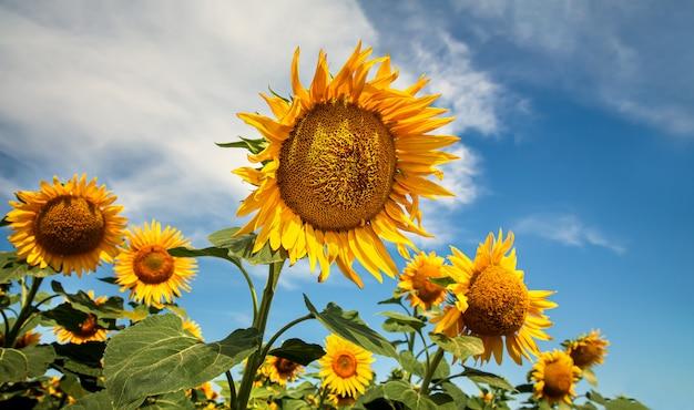自然に咲くひまわり。ひまわり畑のある夏の風景 Premium写真