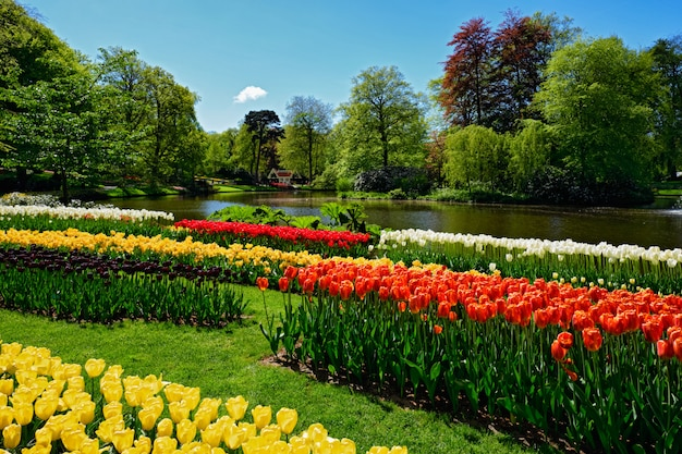 Blooming tulips flowerbed in keukenhof flower garden, netherland Premium Photo