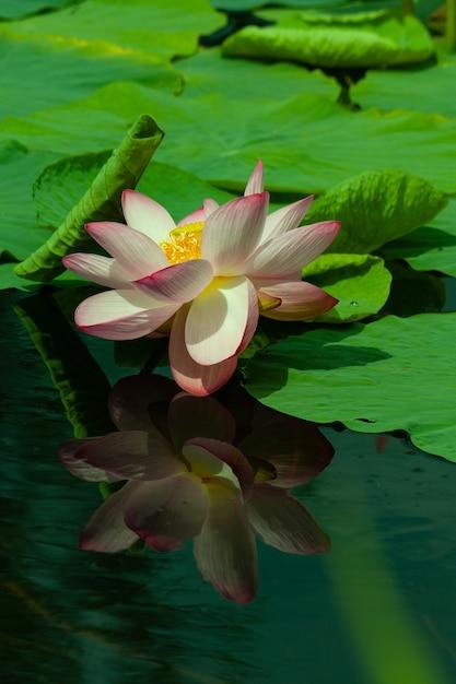 秋の庭の池に咲くスイレン。水の葉に囲まれています。スイレンは水に反射します。 Premium写真