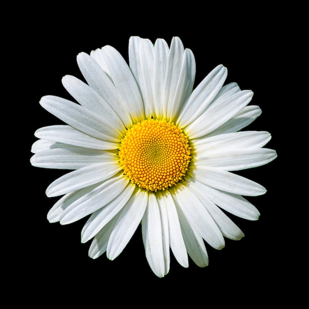 Blooming white daisy flower isolated on black Premium Photo