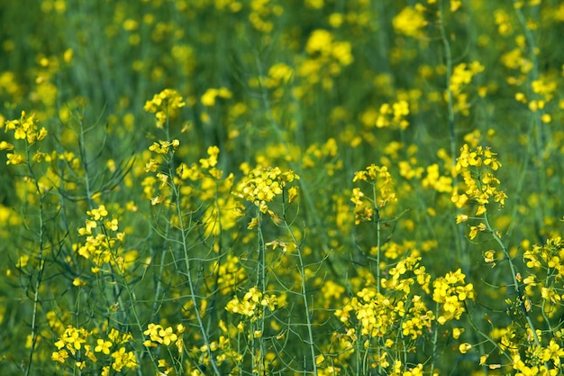 Blooming yellow canola Premium Photo