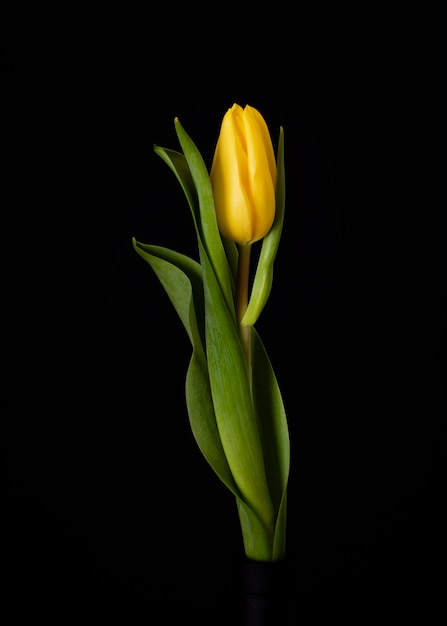 Blooming yellow tulip Free Photo