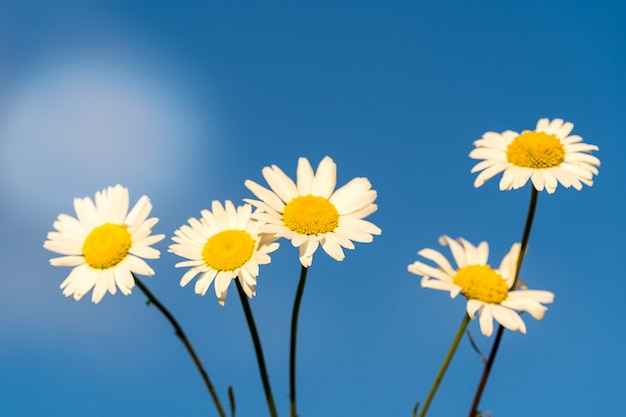 Bloooming chamomile daisy flowers in summer garden over blue sky background. Premium Photo