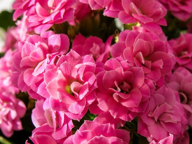 多肉植物のマクロビュー。カランコエblossfeldiana。 Premium写真
