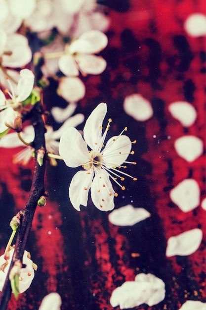 Blossom branch of cherry tree Premium Photo