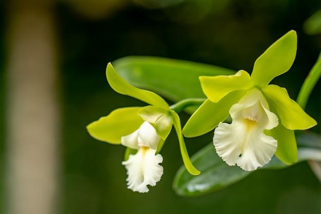 Цветущая каттлея орхидей в саду Premium Фотографии