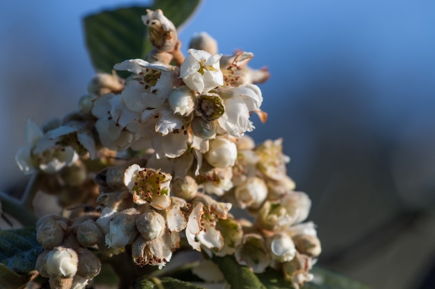 Blossom flowers of loquat tree Premium Photo