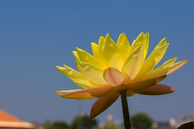Blossom Yellow Lotus Flot On The River Gardent Premium Photo