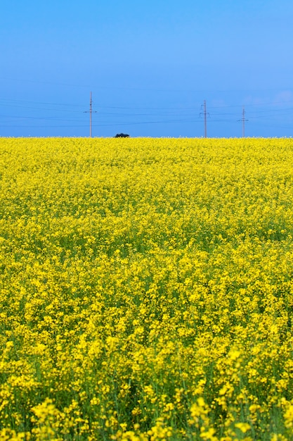 Blossoming field of canola Premium Photo