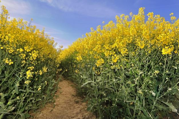 Blossoming rape in a field Premium Photo