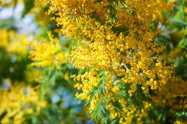 Blossoming spring acacia dealbata Free Photo