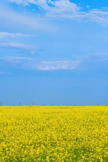 Blossoming yellow field of canola Premium Photo