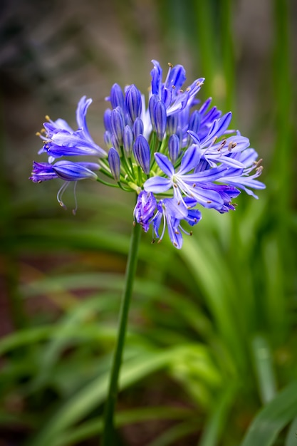 Blue agapanthus africanus or african lily flower with a green garden foliage blurred background. - image Premium Photo